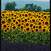 Lavande et tournesols de Provence par Patchok34 - Valensole 04210 Alpes-de-Haute-Provence Provence France