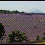Le Mont Ventoux depuis les champs de lavandes par Patchok34 -   Alpes-de-Haute-Provence Provence France