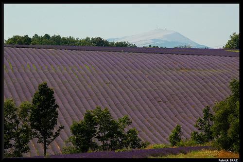 Le Mont Ventoux depuis les champs de lavandes par Patchok34
