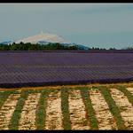 Perspective de lavandes vers le Mont-Ventoux by  -   Alpes-de-Haute-Provence Provence France