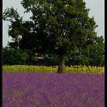 Couleurs de l'été à Valensole by  -   Alpes-de-Haute-Provence Provence France