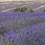 Lavenderfield for ever.... par no.zomi - Valensole 04210 Alpes-de-Haute-Provence Provence France