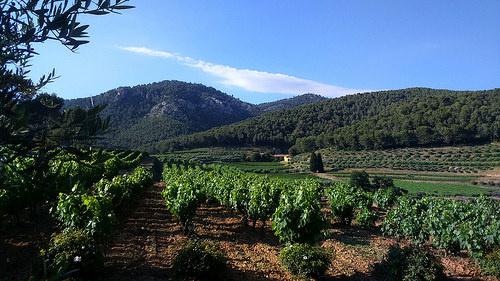 Vignes et oliviers au milieu des pins. Domaine la Michelle par Gé Cau