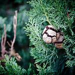 Explosion -  pine cone par ethervizion - Boulbon 13150 Bouches-du-Rhône Provence France
