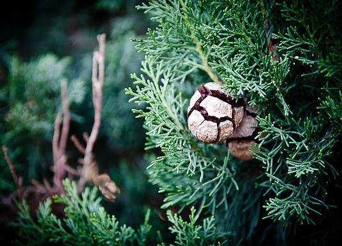 Explosion -  pine cone par ethervizion