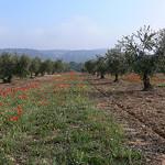 Les coquelicots d'avril au pied des oliviers by photojenico - Fontvieille 13990 Bouches-du-Rhône Provence France