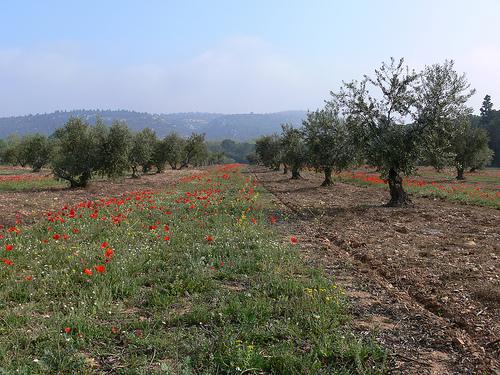 Les coquelicots d'avril au pied des oliviers par photojenico