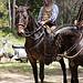 Transhumance rider - tradition par PDGalvin - La Bouilladisse 13720 Bouches-du-Rhône Provence France