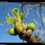 Le printemps du figuier par Pantchoa - La Ciotat 13600 Bouches-du-Rhône Provence France