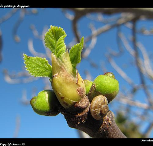 Le printemps du figuier by Pantchoa