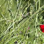 Coquelicot rouge : phmre et lumineux par  - St. Cyr sur Mer 83270 Var Provence France