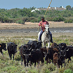 Gardian en Camargue : le chef des taureaux par Dam.R -   Bouches-du-Rhône Provence France