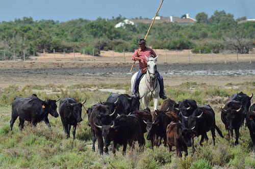 Gardian en Camargue : le chef des taureaux by Dam.R