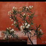 Contraste de couleur : laurier et mur ocre by g_dubois_fr - Les Baux de Provence 13520 Bouches-du-Rhône Provence France