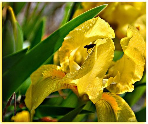 Iris au coeur - Baux-de-Provence by Charlottess