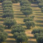 Champ d'oliviers dans les Alpilles by Fanette13 - Les Baux de Provence 13520 Bouches-du-Rhône Provence France