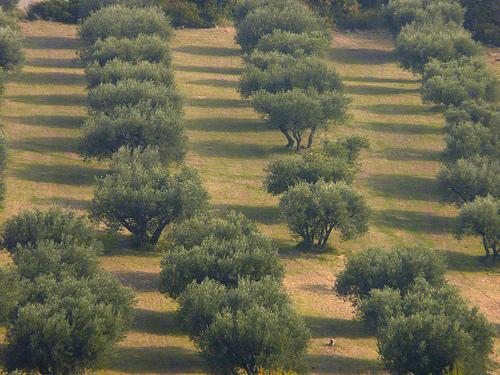 Champ d'oliviers dans les Alpilles par Fanette13