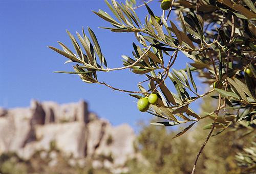 Olives sur fond des Baux de Provence par Zakolin