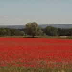 champs rouge de coquelicots by dano35ie - Maillane 13910 Bouches-du-Rhône Provence France