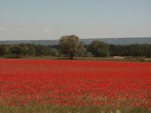 champs rouge de coquelicots by dano35ie