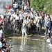 Trois Gaso - Traversée du lac par les taureaux des manades par salva1745 - Maillane 13910 Bouches-du-Rhône Provence France