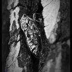 Cigale cachée sur un arbre par  - Marseille 13000 Bouches-du-Rhône Provence France