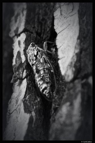 Cigale cachée sur un arbre par cyrilgalline