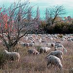 Moutons dans la vallée des Baux . par Tinou61 - Maussane les Alpilles 13520 Bouches-du-Rhône Provence France
