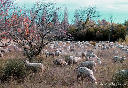 Moutons dans la vallée des Baux . by Tinou61