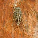 Cigale en gros plan sur un tronc d'arbre par  - Pelissanne 13330 Bouches-du-Rhône Provence France