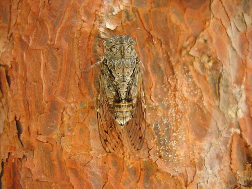 Cigale en gros plan sur un tronc d'arbre par VoldePégase