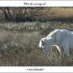 Chevaux blancs en Camargue par michel.seguret -   Bouches-du-Rhône Provence France