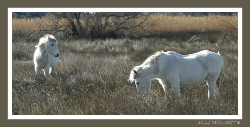 Chevaux blancs en Camargue by michel.seguret