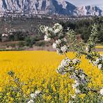 Du colza au pied de la Sainte-Victoire par Patchok34 - Rousset 13790 Bouches-du-Rhône Provence France