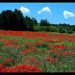 Champs de coquelicots... rouge ! par Patchok34 - Biver 13120 Bouches-du-Rhône Provence France