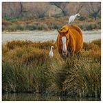 Cohabitation en camargue : cheval et héron blanc par V A - Saintes Maries de la Mer 13460 Bouches-du-Rhône Provence France