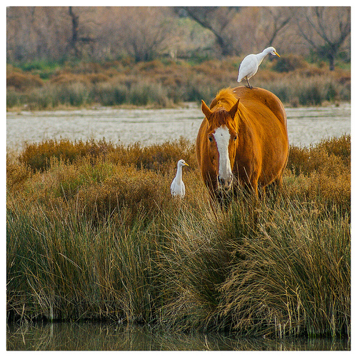 Cohabitation en camargue : cheval et héron blanc par V A