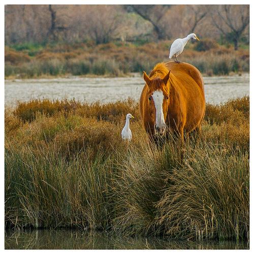 Cohabitation en camargue : cheval et héron blanc by V A