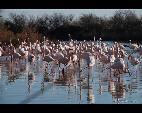 Camargue : flamants roses by Alain Cachat
