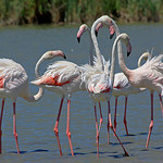 Flamingos in the Camargue by  - Saintes Maries de la Mer 13460 Bouches-du-Rhône Provence France