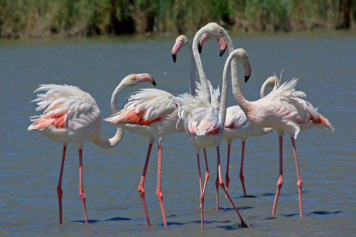 Flamingos in the Camargue by Aschaf