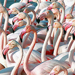 Manifestation de flamants rose par  - Saintes Maries de la Mer 13460 Bouches-du-Rhône Provence France