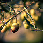 Olive trees in the South of France by  - St. Etienne du Gres 13103 Bouches-du-Rh&ocirc;ne Provence France