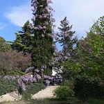 Glycine violette par Jean NICOLET - St. Rémy de Provence 13210 Bouches-du-Rhône Provence France