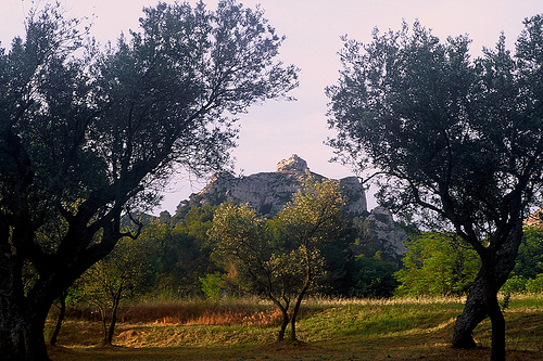 Olive Grove and Les Alpilles by wanderingYew2