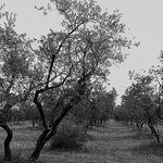 St Rémy Olive Grove by wanderingYew2 - St. Rémy de Provence 13210 Bouches-du-Rhône Provence France