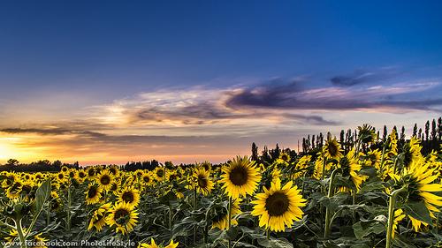 Tournesols rassasiés de soleil par Guillaume.PhotoLifeStyle