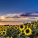 Tournesols rassasiés de soleil by Guillaume.PhotoLifeStyle - Tarascon 13150 Bouches-du-Rhône Provence France