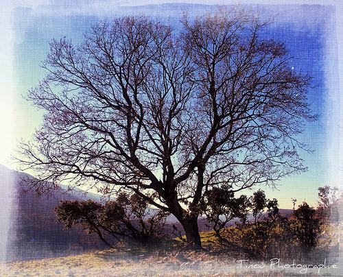 Au détour d'un chemin ... un arbre majestueux par Tinou61