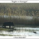 Sanglier en Camargue par  -   Bouches-du-Rhône Provence France